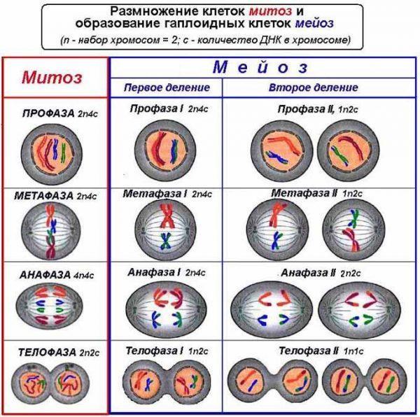 Размножение клеток митоз и образование гаплоидных клеток мейоз