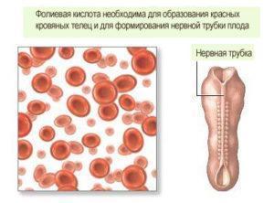 Роль фолиевой кислоты в организме