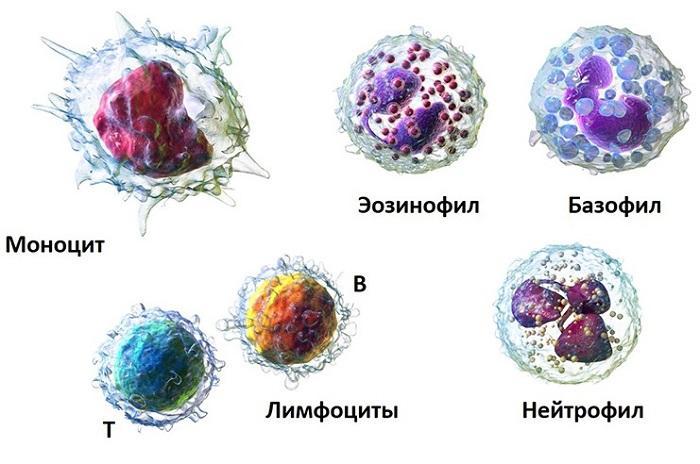 Состав лейкоцитов