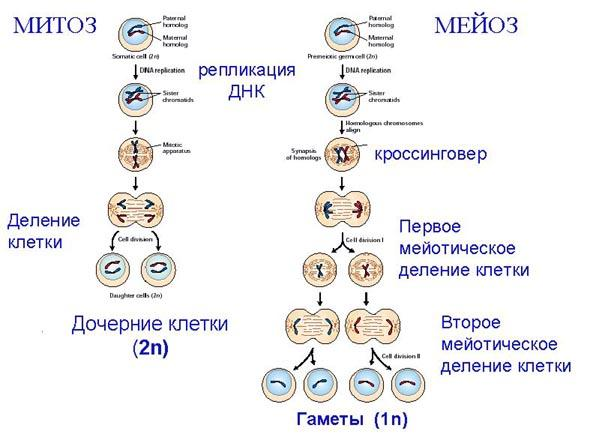 Сравнительная характеристика митоза и мейоза