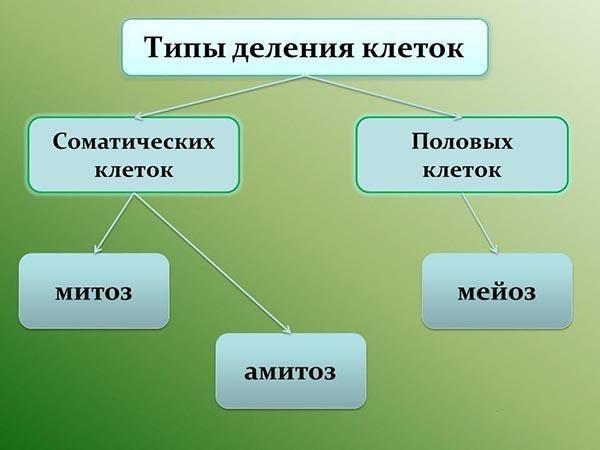 Типы деления клеток