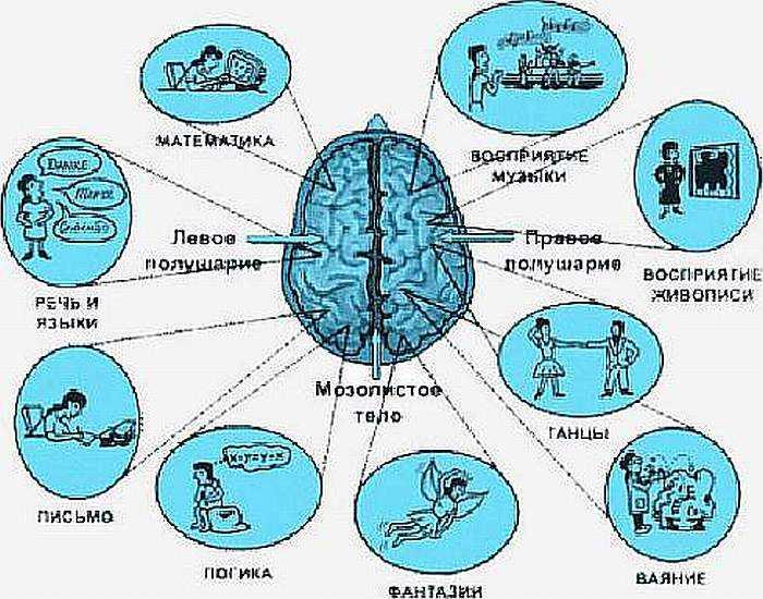 Функции левого и правого полушария мозга