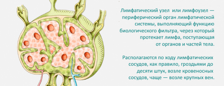 Что такое лимфатический узел