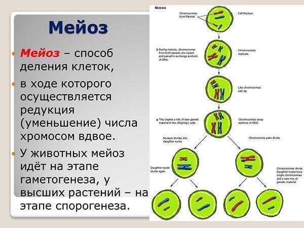 Что такое мейоз