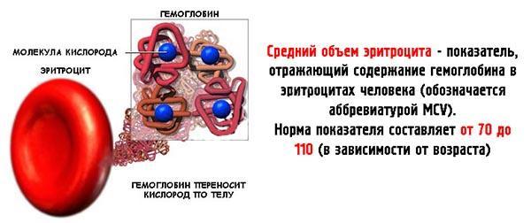 Что такое средний объем эритроцитов и его норма