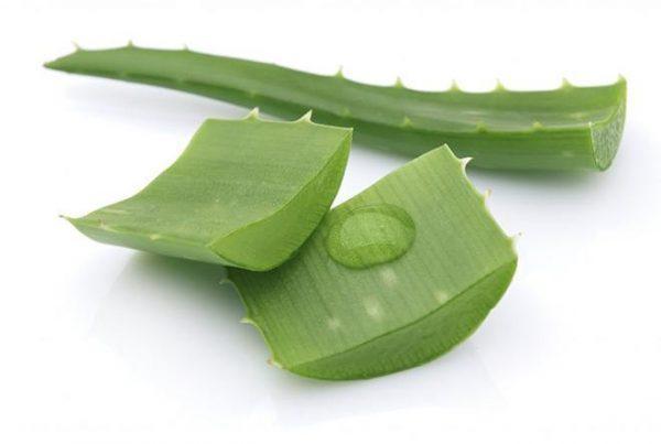 Сочные листья алоэ обладают уникальным целебным составом