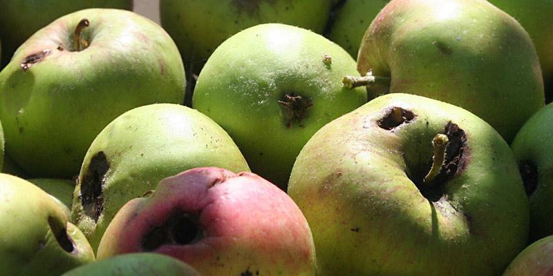 Распространенный способ заражения гельминтами - немытые или испорченные фрукты и овощи