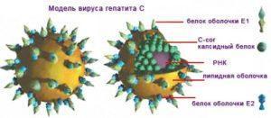 Модель вируса гепатита С