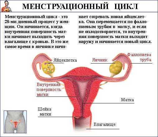 Что такое менструальный цикл