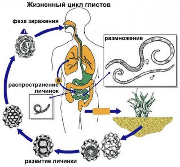 Жизненный цикл глистов