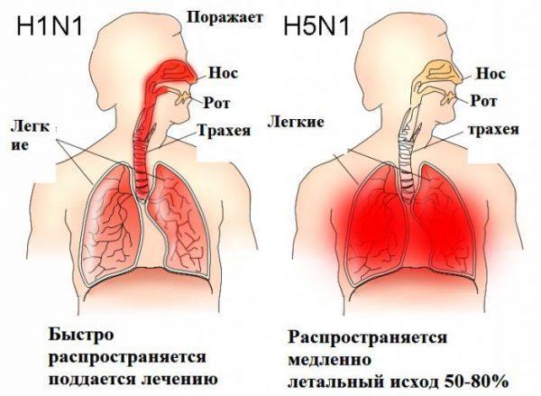 Подтипы птичьего гриппа H5N1 и H7N7