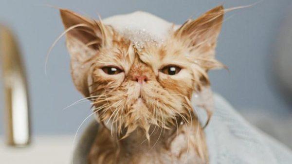 После каждой прогулки кошку необходимо мыть
