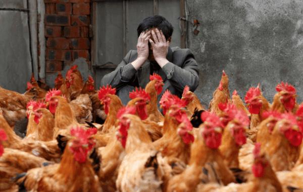 Птичий грипп мутировал и стал опасней