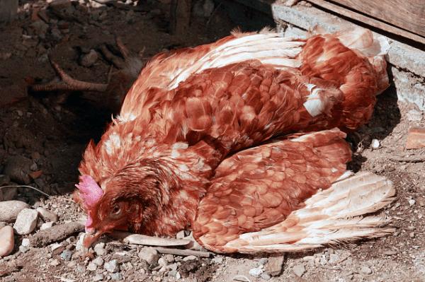 Птичий грипп у курицы