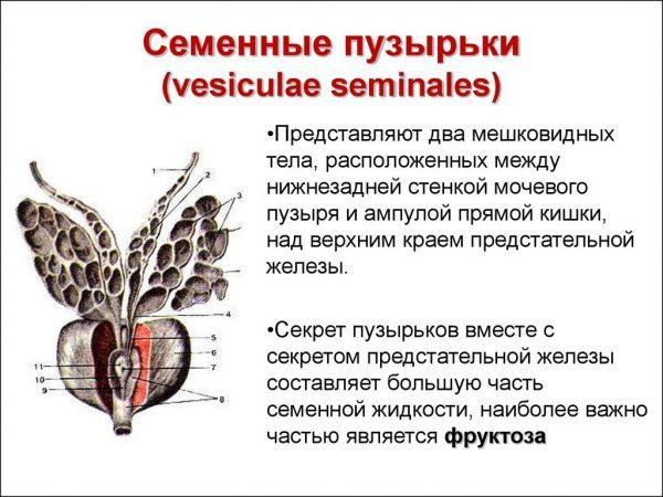 Семенные пузырьки (vesiculae seminales)