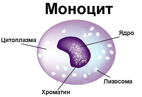 Строение моноцита