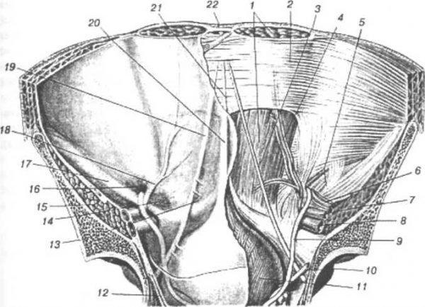 В основе лапароскопической герниопластики лежит использование сетки, которая укрепляет слабые места передней брюшной стенки. Внутренняя поверхность передней брюшной стенки (по Р. Д. Синельникову): 1 - прямая мышца живота; 2 - задняя стенка влагалища прямой мышцы; 3 - lig. Umbilicale laterale; 4 — a. et v. epigastrica inferior; 5 - anulus inguinalis profundus; 6- a. et w. testiculars; 7 - a. iliaca externa; 8 - v. iliaca externa; 9 - ductus deferens; 10- мочеточник; 11 - мочевой пузырь; 12 - т. Levator ani; 13 - fossa supravesicularis; 14 - fossa inguinalis medialis; IS - m. iliopsoas; 16 - fossa inguinalis lateralis; 17 - паховая связка; 18-plica umbilicalis lateralis; 19-plica umbilicalis media; 20 - plica umbilicalis mediana; 21 - lig. umbilicale medianum; 22- linea alba
