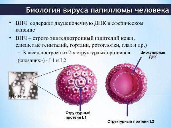 Биология вируса папилломы человека