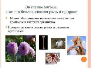 Значение митоза