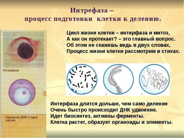 Интерфаза митоза