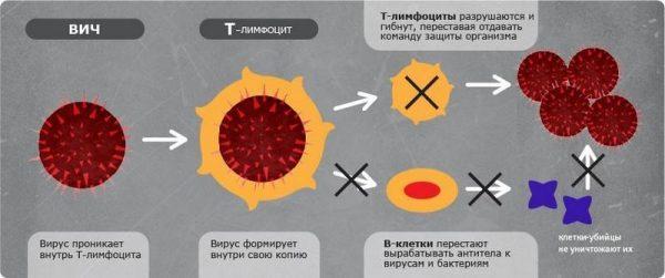Как ВИЧ поражает клетки организма