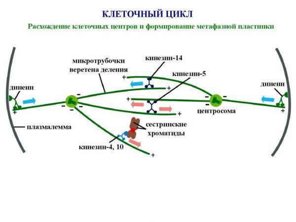 Клеточный цикл. Митоз