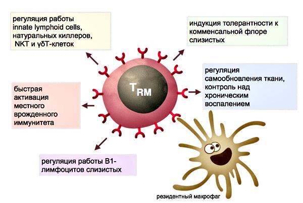 Функции резидентных Т-лимфоцитов
