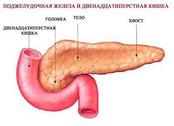 Расположение поджелудочной железы относительно двенадцатиперстной кишки