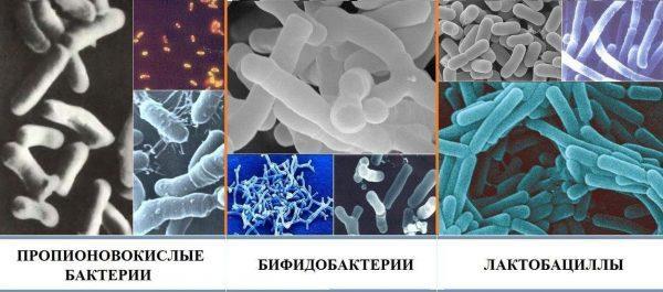 Виды бактерий кишечной микрофлоры человека