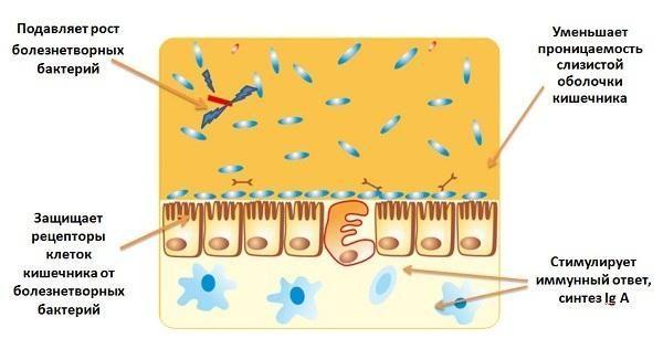 Механизм действия пробиотиков в организме