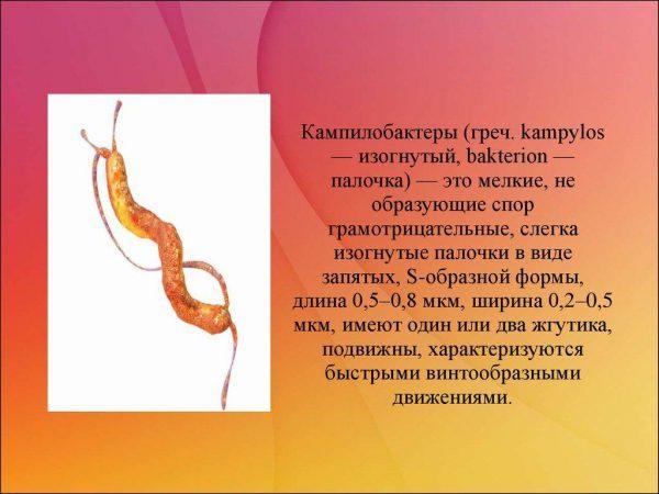 Кампилобактеры
