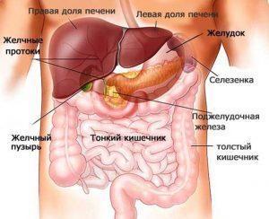 Расположение органа по отношению к соседним анатомическим образованиям