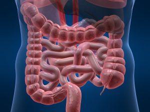 Кишечник — наиболее протяженная часть пищеварительного тракта