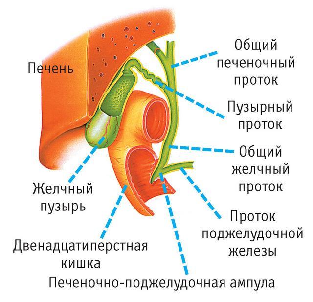 Желчь, необходимая для нормального функционирования желудочно-кишечного тракта, образуется в печени