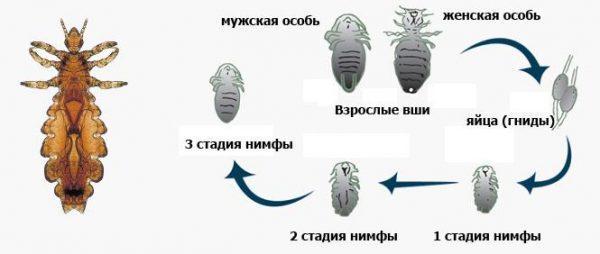 Этапы развития вшей: яйца (гниды), 1 стадия нимфы, 2 стадия нимфы