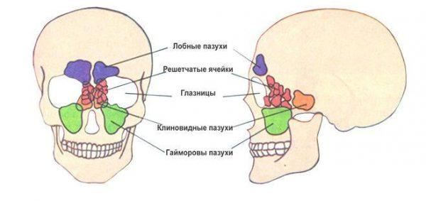Пазуха - полость в некоторых органах тела, например, лобные пазухи, решетчатые ячейки, клиновидные пазухи, гайморовы пазухи и глазницы