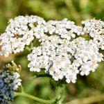 Порезная трава (тысячелистник обыкновенный)