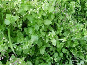 Трава огородной мокрицы