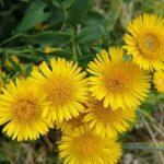 Желтый цвет (девясил)
