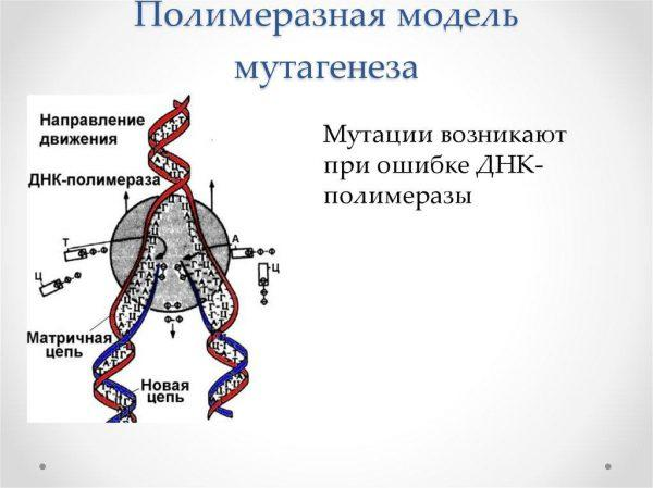 Полимеразная модель мутагенеза