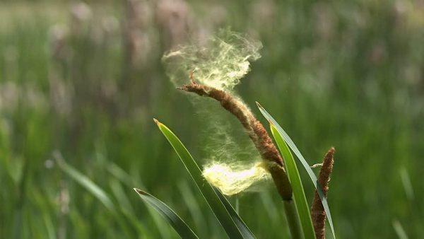 Пыльца растений считается самой частой причиной аллергии
