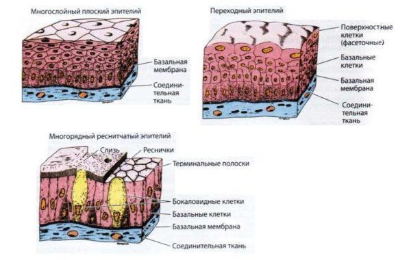 Виды и структура эпителия