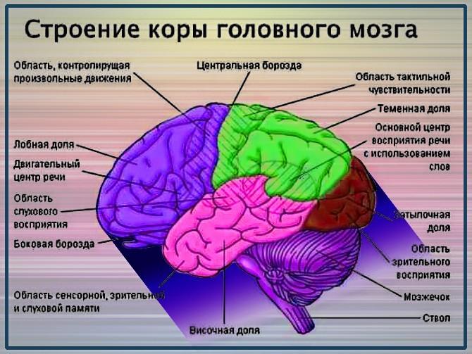 Строение коры головного мозга