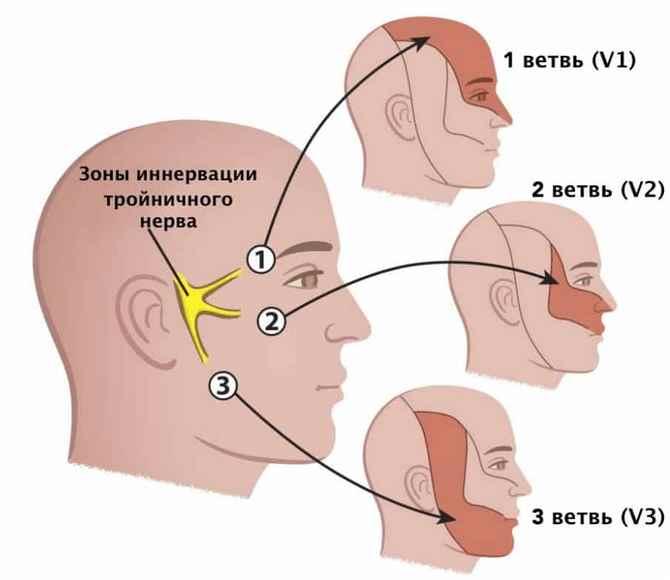 Ветви и зоны иннервации тройничного нерва