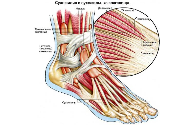 Сухожилия и сухожильные влагалища