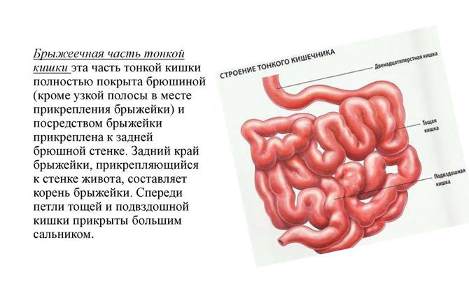 Строение тонкого кишечника